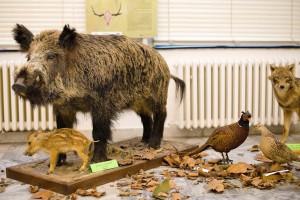 Fauna Zemplína oddnes prezentovaná v trebišovskom múzeu